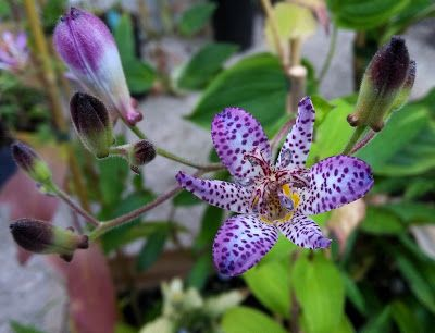 96 best Tricyrtis images on Pinterest | Garden nursery, Shade ...