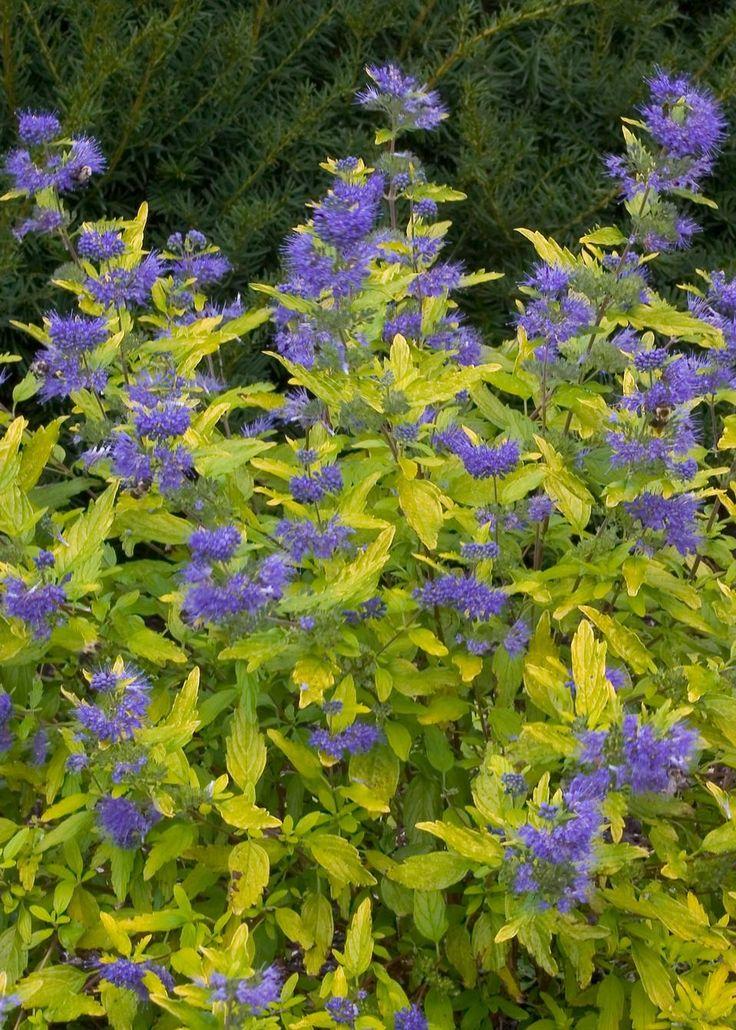 17 best images about summer flowering shrubs for colorado for Blue flowering bush
