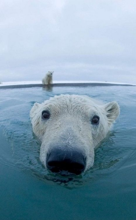 polar bear swimming time, his face made me laugh so much!