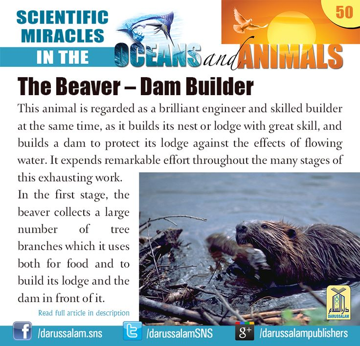 The Beaver – Dam Builder This animal is regarded as a brilliant engineer and…