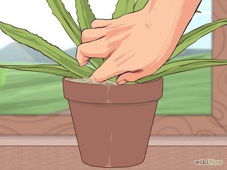 Comment cultiver et utiliser l'Aloe vera à des fins médicales