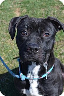 ★4•16•16 SL★BELLEFONTAINE, OH - Boxer/American Pit Bull Terrier Mix. Meet Maliciah, a dog for adoption. http://www.adoptapet.com/pet/13591985-bellefontaine-ohio-boxer-mix