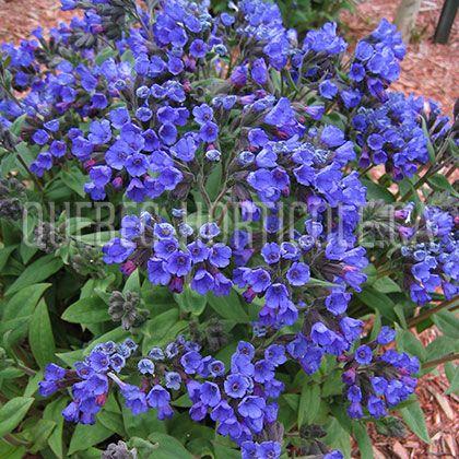 image de Pulmonaria Blue Ensign