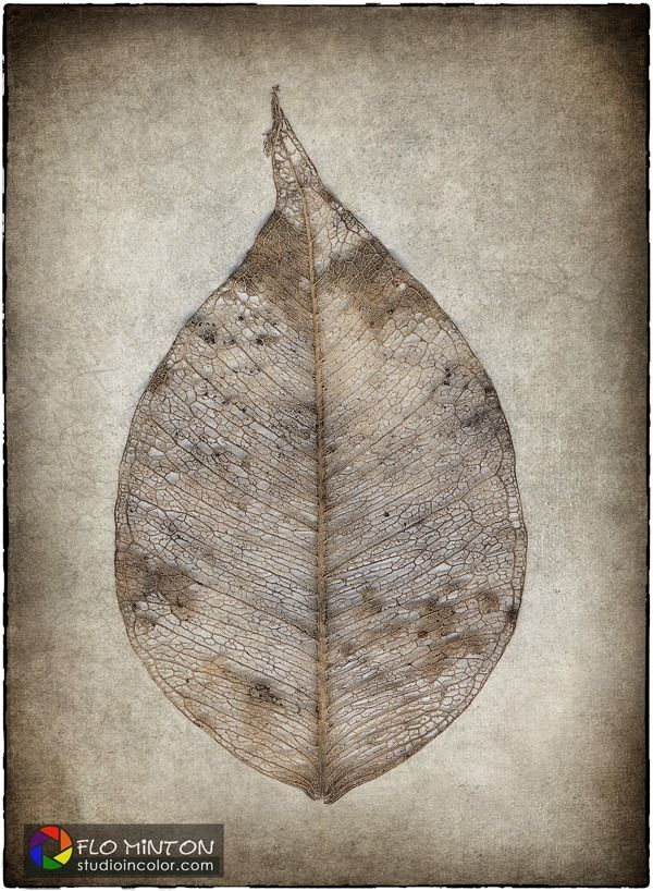 Leaf skeleton, shot with Lumix LX7. Postpreocessed in Photoshop with Topaz Software plugins and French Kiss textures   #botanicals #LeafSkeleton #NikSoftware #flowers #textures