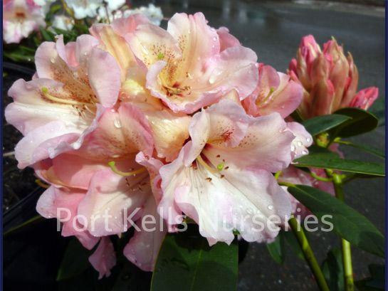 Rhododendron 'Bambino'