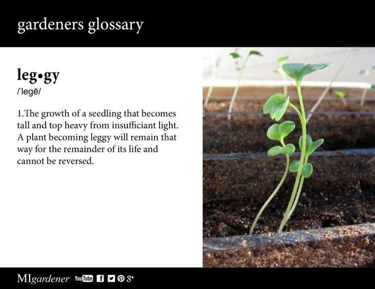 10 best gardeners glossary images on pinterest edible garden leggy know what it means ans what causes it get in the know fandeluxe