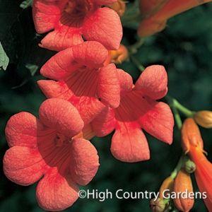 32 best images about hummingbird vines on pinterest. Black Bedroom Furniture Sets. Home Design Ideas