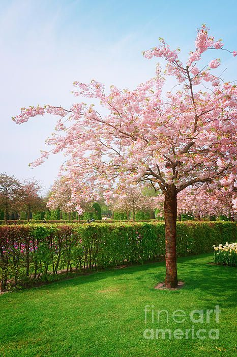 Blooming cherry tree in Keukenhof garden in sunny day, Netherlands by Anastasy Yarmolovich #Holland #Netherlands #AnastasyYarmolovichFineArtPhotography  #ArtForHome