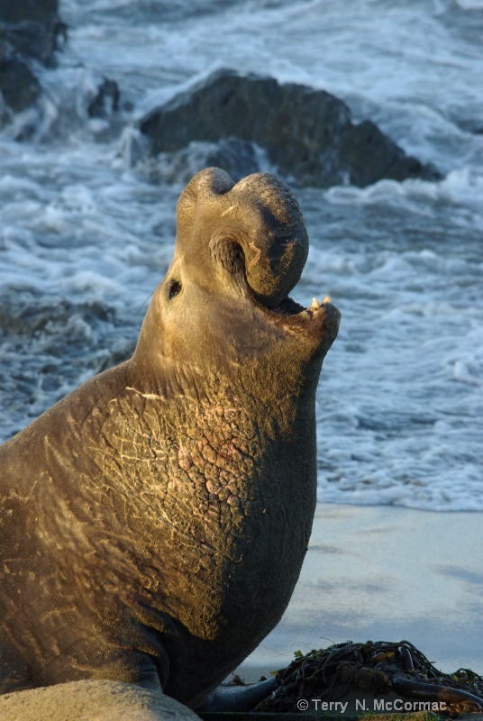 Male Elephant Seal, Piedras Blancas Rookery © Terry N. McCormac