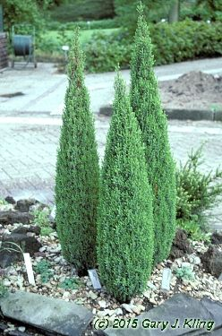 Juniperus communis 'Compressa'. I like the shape this is pruned in to.