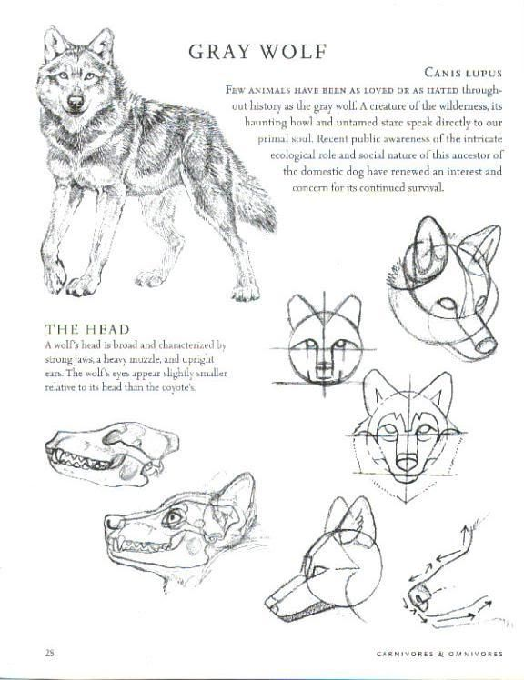 Wolf Anatomy *Refrences Included* : Balto Fan art