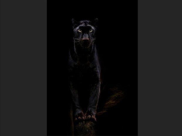 La panthère noire est un léopard qui doit son pelage sombre au mélanisme.