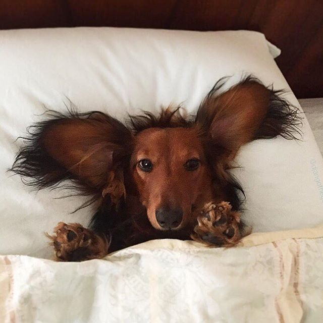 Ahhhhhh, welcome weekend ❤️❤️ love the pic @djangothegent #dachshund…                                                                                                                                                                                 More