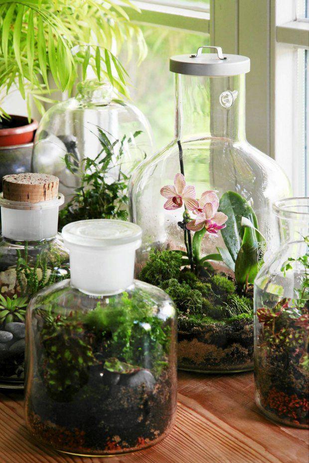 Ogród w szkle. W naczyniach na drugim planie - miniaturowy storczyk pośród mchu oraz kolekcja sukulentów. Na pierwszym planie - begonie (zamglone szkło to sygnał, że naczynie trzeba na jakiś czas otworzyć).