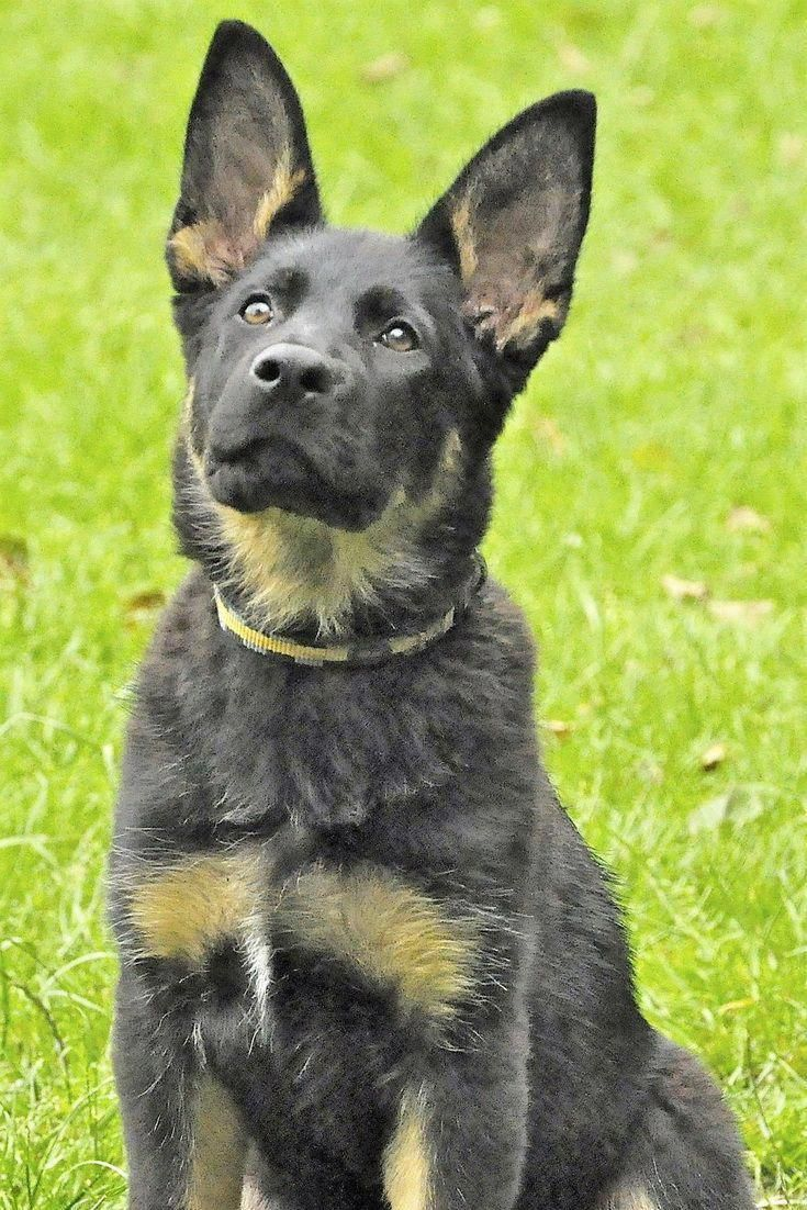 How Much Should A Full Blooded German Shepherd Puppy Cost
