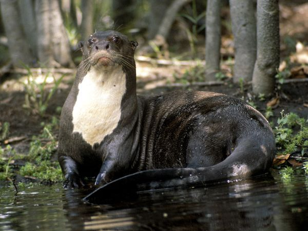 Giant River Otter on a Riverbank  Photograph by Nicole Duplaix    Native to South America, the giant river otter feeds on fish, crabs, and snakes found in and along waterways.