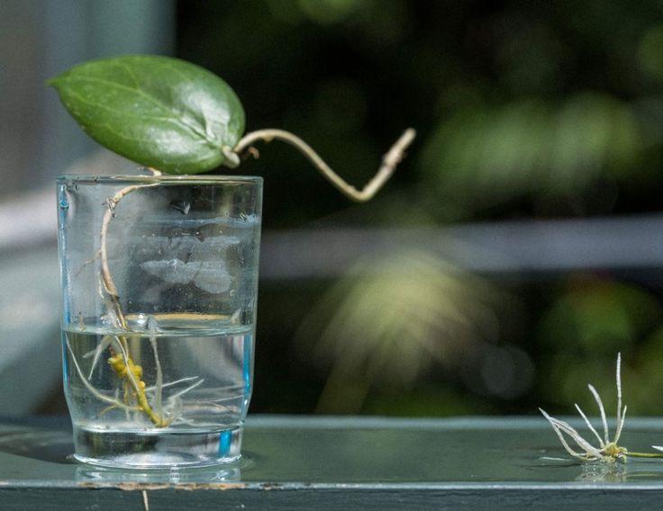 hoya - the water propagation method