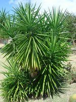 Yucca is propagated from the offsets that form around the base.
