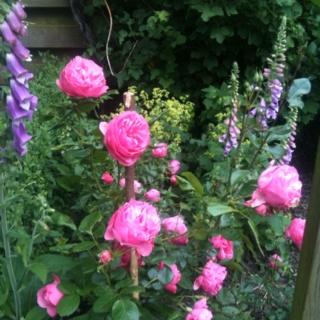 Met bananenschillen in de grond krijg je prachtige rozen! Put your banana peels in the ground to get beautiful roses!