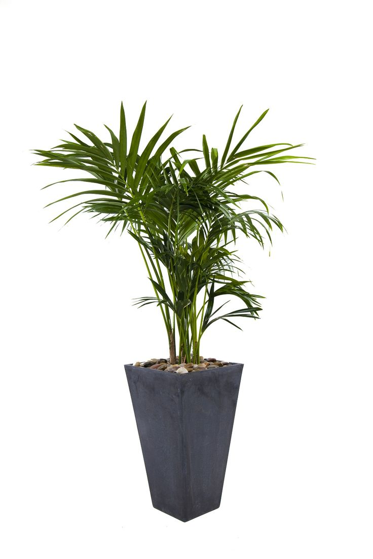 palm flowers, palm shrubs, palm trees, palm indoor seeds, on palm indoor houseplants