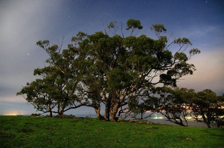 Hilltop trees by moonlight (30 sec exposure) - the towns of Spencer Gulf behind