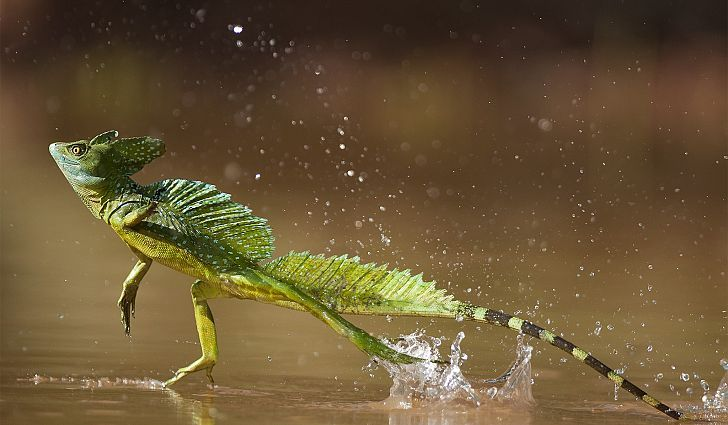 #7 Jesus Lizard - What Animals Live In The Amazon Rainforest?