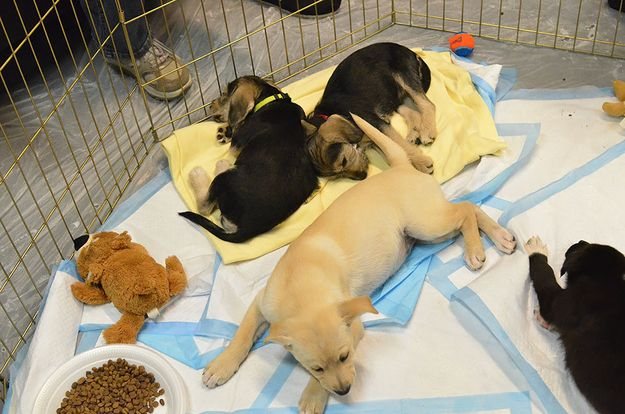 And, finally, very exhausted puppies.   The 58 Cutest Things Found Behind The Scenes At The Puppy Bowl