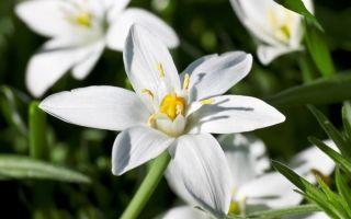 Fleur de Bach Star of Bethlehem ou Dame de onze heures aide dans des situations qui sont la suite d'un grand choc physique et/ou émotionnel qui a aussi bien eu lieu dans un passé récent ou lointain.