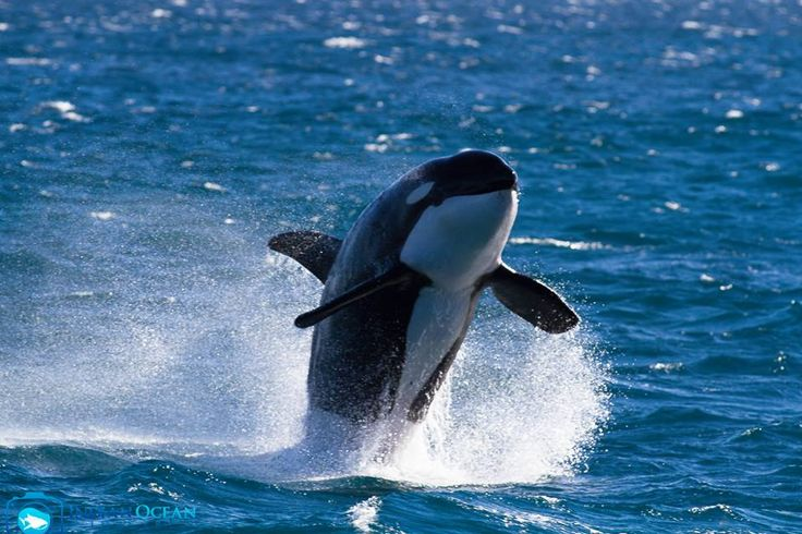 Augie the Orca