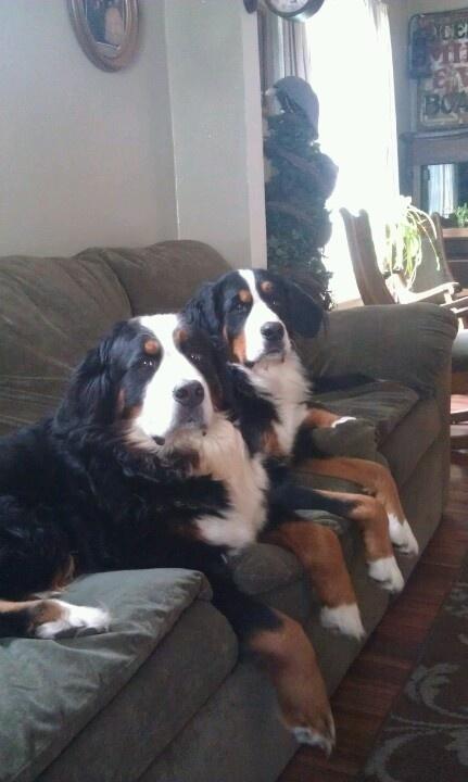 Bernse and Bella relaxing