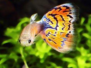 Guppy fish