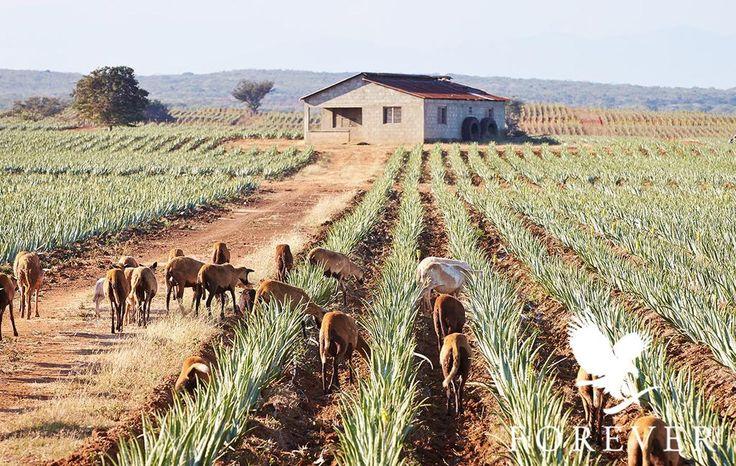 Saviez-vous que nous utilisons des chèvres et des moutons pour désherber et fertiliser nos plantations d'Aloe Vera de façon naturelle ? #DiscoverForever