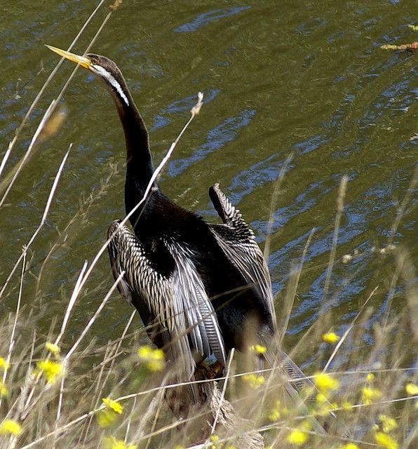 Cormorant Display