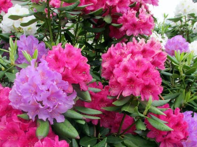 Conseils de culture et d'entretien du rhododendron, un arbuste de terre de bruyère qui fleurit au printemps.