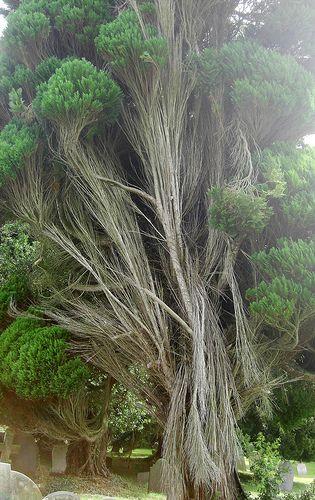 Strange Tree in Littleham Churchyard North Devon