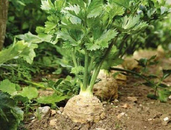 как вырастить корневой сельдерей,корневой сельдерей посадка,растение сельдерей, агротехника корневого сельдерея,корнеплод сельдерея,