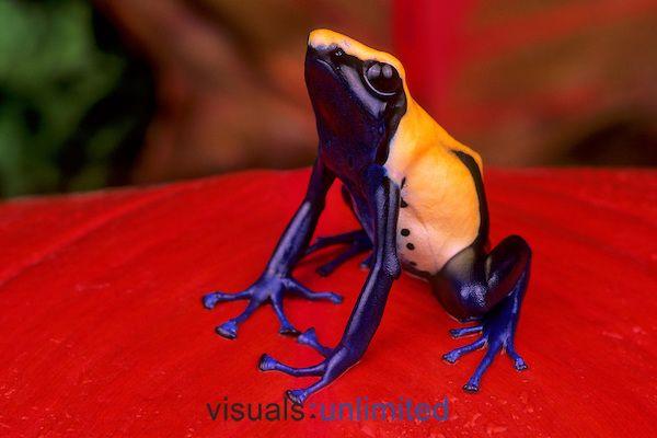 Dyeing Poison Frog (Dendrobates tinctorius).