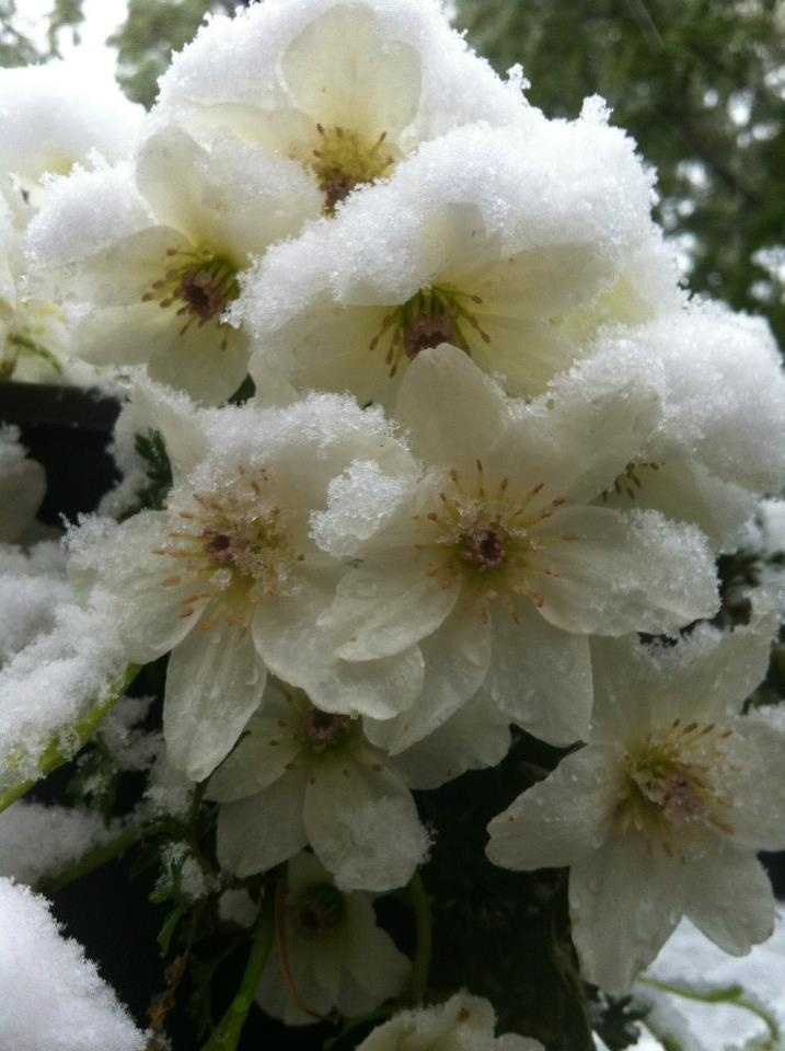 Flowers of Mount Tomah dressed in white