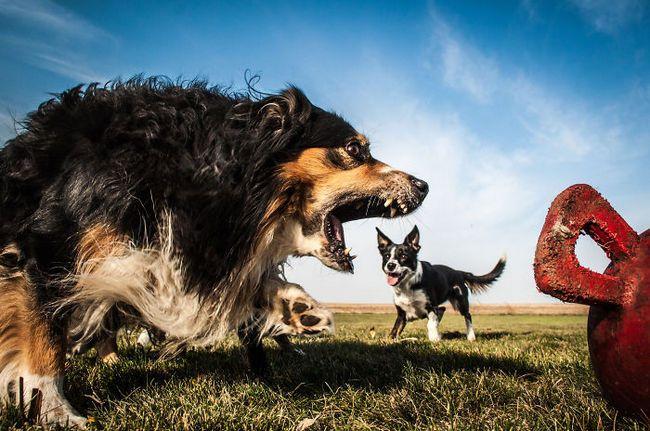 Нет, гигантские собаки не вторглись в землю. Эти фотографии создают иллюзию огромных псов посредством намеренного или случайного использования смешанных расстояний без ясных ориентиров.