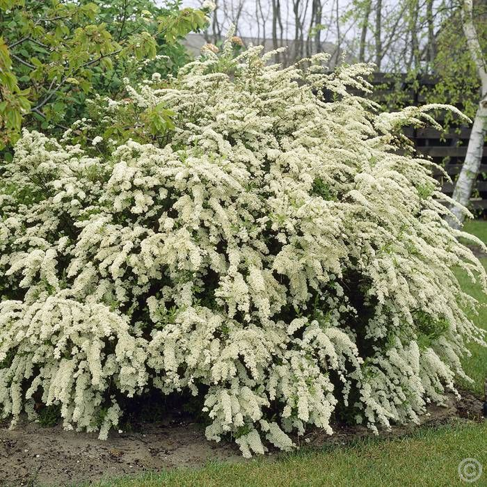 Spiraea vanhouttei (Rosaceae), also known as the 'Bridal Wreath'