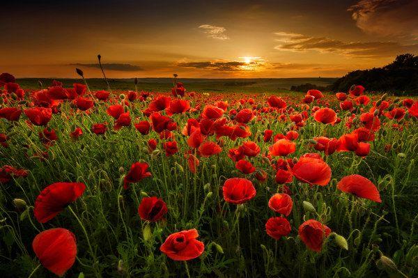 Sommerliches Mohnfeld: kräftig rote Blütenfarben und warme Hintergrundfarben verleihen ein wohlige Sommerabend-Stimmung!