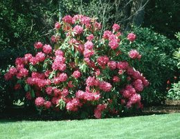 Pruning Rhododendron Plant