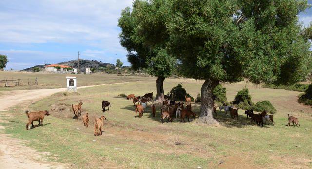 Ziegenherde auf der Hochebene von Sykia, Chalkidiki Sithonia