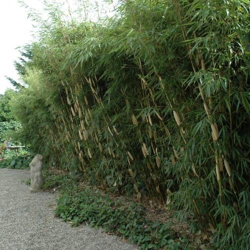 Bambou Fargesia robusta Pingwu