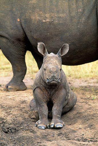 baby rhino sitting - Google-søgning