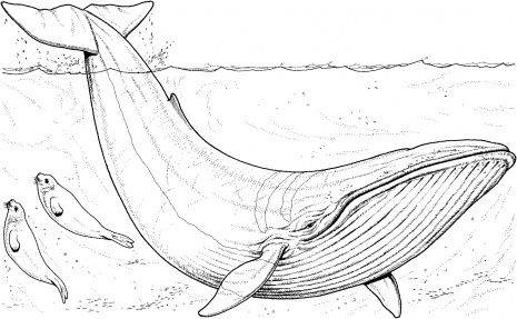 Humpback Whale Coloring Pages | Blue Whale coloring page | Super Coloring