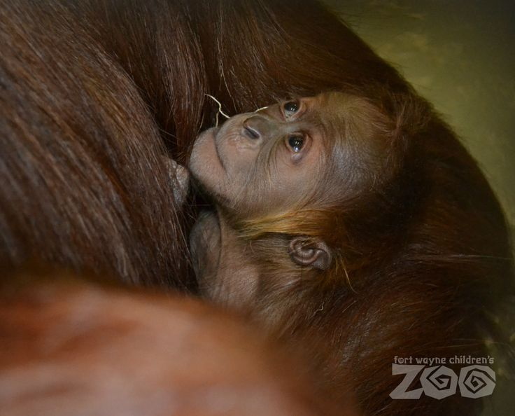 The baby, born this past Saturday, is the only Sumatran orangutan born in a United States zoo in 2014.