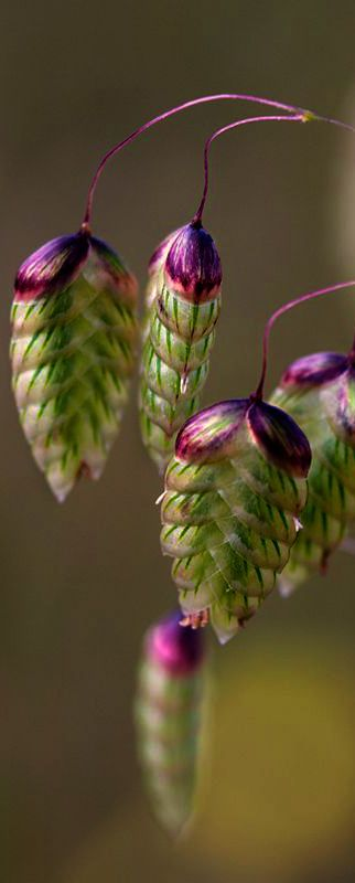 Magnificent Nature ~ Seed Pods ~ Quaking Rattlesnake Grass - Briza maxima