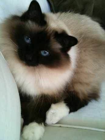 Search our Lost Birman pet register database