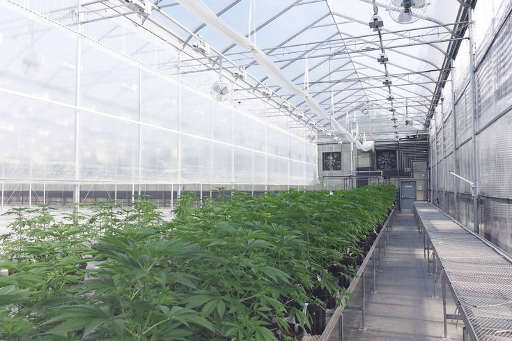 Tantalus' first harvest shows high-quality cannabis can be produced using less energy
